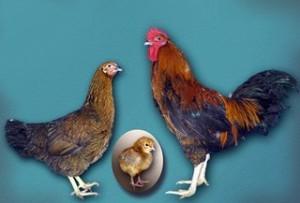 Breed for home breeding, photos, description, characteristics