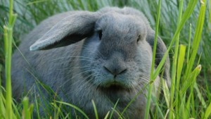 Beautiful white fluffy breed rabbits (rabbit Kursk) photos, description