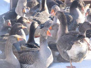 Photos, description Landes, a French breed of geese, characteristi