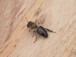 Wild dark forest bee, photos, description