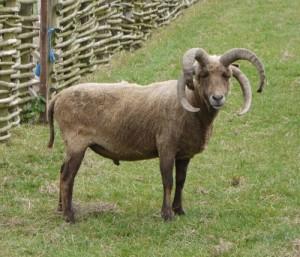 Вівця багаторіжка, опис, фото.