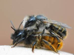 How does the German bee, photos, description, breed characteristics