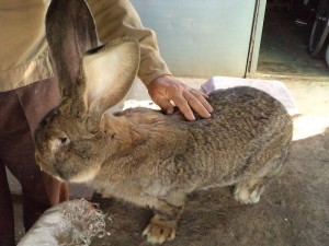 Large German chief rabbit, photo, description, characteristics