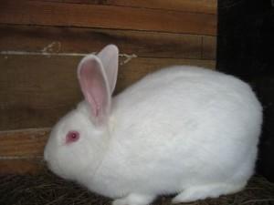 Breed Pannonia, white rabbit, description, photos and characteristics of domestic breeding