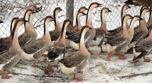 Photos, description, characterization of Ukrainian breed of geese - Pereyaslavskaya