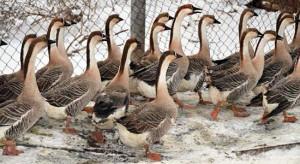 Photos, description, characterization of Ukrainian breed of geese - Pereyaslavskaya