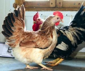 Egg breed of domestic breeding, photos, description, characteristics