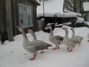 Photos, description, characterization of the Pskov bald geese breed