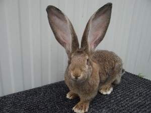 German breed Risen rabbits, breeding, photos, description and characterization