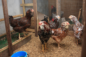 Description, photos, breed characteristics of laying hens for breeding home