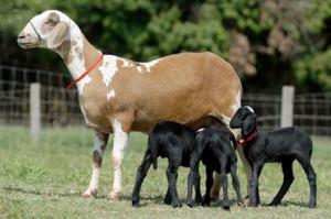 Бразильська порода овець - Санта-Інес, характеристика, опис, фото.