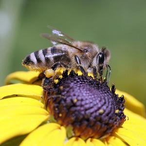 The bees of gray mountain Caucasian breed, photos, description, characteristics