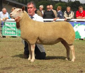 Meat breed of sheep - Charolais, description, photos, characteristics