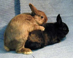 Mating rabbits at home, photos, step by step description, the selection of rabbits to breed