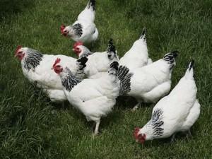Breed description, photo, characteristic for home breeding