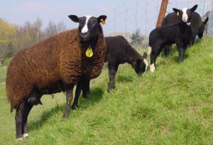Beautiful Tsvartbles breed sheep, photos, description, breeding in Russia and Ukraine