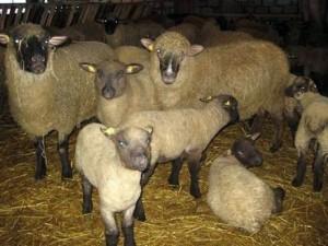 Sheep Latvian dark-head, description, photos, description of dilution in the home
