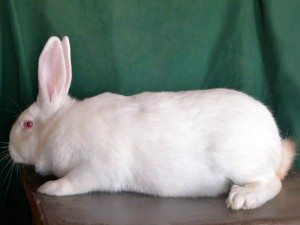 The breed rabbits - termonskaya white, photos, description, characteristic for home breeding