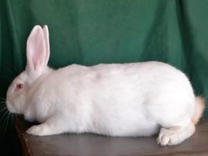 The breed rabbits - termonskaya white, photos, description, characteristic for home breeding