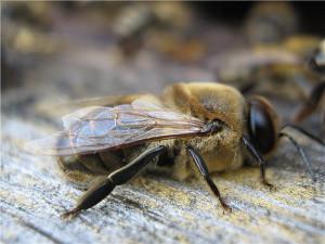 How are bee drones, photos, description