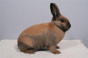 Beautiful rabbit breed Thuringian, photos, description, characteristics