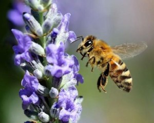 The breed of bees for domestic breeding - Ukrainian steppe, photos, description, characteristics