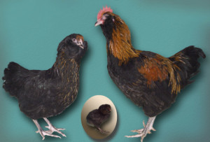 The breed chickens for home breeding, photos, description, characteristic