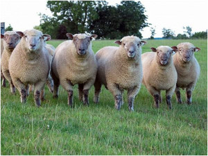 Characteristics of the breed of sheep for home breeding, photos, description