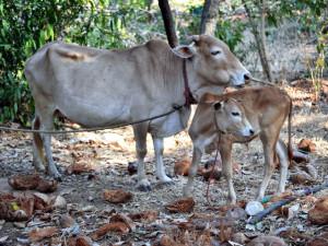 Indian mini cow Vechur description, photos, characteristics
