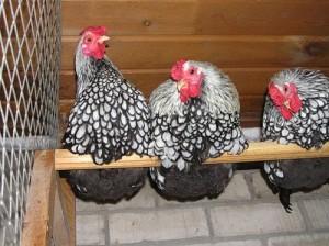 Description small chickens hens, photo, characteristics