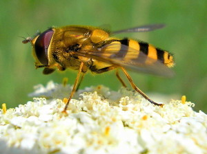How does an earthen bee, photos, description of breed