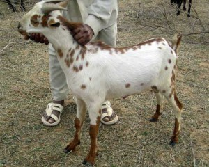 Photos, description, goat Indian countryside, the Barbary breed characteristic for home breeding and maintenance