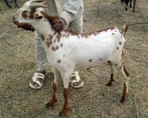 Фото, опис, коза індійської місцевості, порода Барбарі, характеристика для домашнього розведення і утримання.