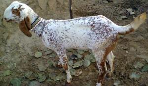 Фото, опис кози породи бітал для домашнього розведення і утримання.