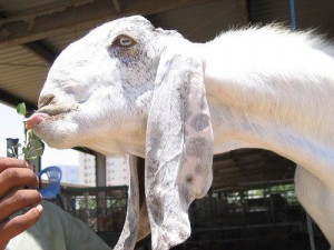 Beautiful breed goats Shami, photos, description, characterization and breeding for home detention