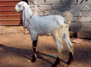 Photos, description Indian breed of goats Dzhamnapari, characteristic for home breeding and maintenance