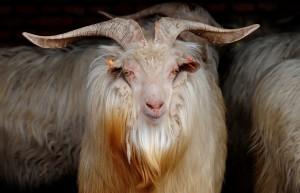 Фото, описание Кашмирской породы коз, характеристика для домашнего содержания и разведения.
