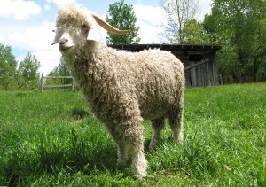 Photos, description Angora goat breed, characteristic for home breeding and maintenance