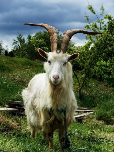 Photos, description, Russian white breed goats, characteristic for home breeding and maintenance