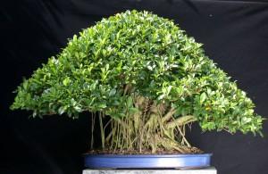 Правильний грунт для посадки і вирощування японського бонсай в домашніх, кімнатних умовах. Повна інструкція.