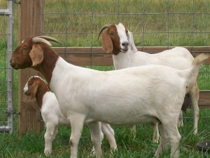 The best meat breed goats - Boer, photos, description, characterization and breeding for home detention