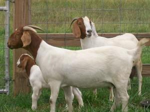 Найкраща м'ясна порода кіз - Бурська, фото, опис, характеристика для домашнього розведення і утримання.