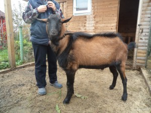 Photos, description Czech brown breed goats, characteristic for home breeding