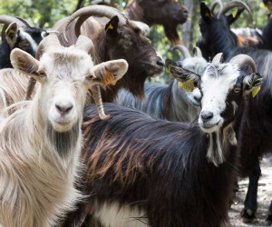 Photos, description Corsican breed of goats for breeding and domestic content characteristic