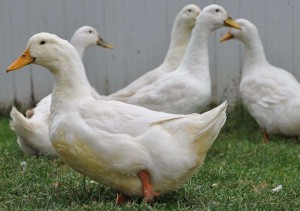 Photo, ducks breed description Eylsbyuri, characteristic for home breeding