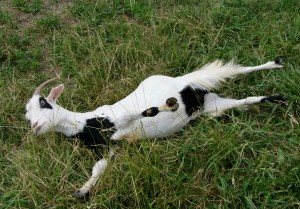 Photos, description fainting goat breeds, characteristic for home breeding and maintenance