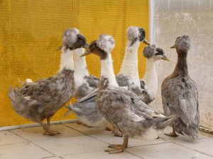 Photos, description breed crested ducks with a forelock, characteristic