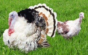 Photos, description, silvery North Caucasian turkey, characteristic for home maintenance and breeding