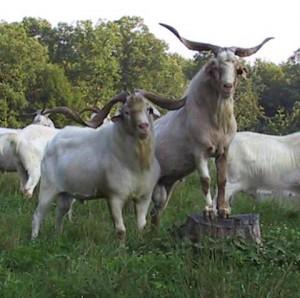 Фото, описание породы коз Кико, характеристика для домашнего содержания и разведения.