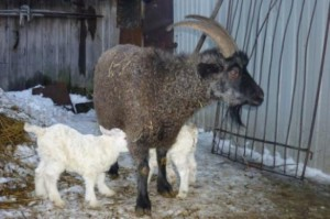 Photos, description of the Don breed goats, characteristic for home breeding and maintenance